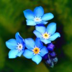 forget-me-not-flowers-square-logo